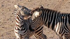 zebra Burgerszoo 094A1524 (j.a.kok) Tags: zoogdier zebra burgerszoo burgerzoo grantzebra mammal dier animal africa afrika