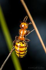 Female Wasp (jgruber111) Tags: tiphiidae vespoidea aculeata apocrita hymenoptera insect macro entomology