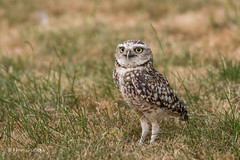 Burrowing Owl D85_4192.jpg (Mobile Lynn) Tags: birds owlsrelatives owl burrowingowl nature athenecunicularia bird fauna strigiformes wildlife nocturnal coth specanimal coth5 ngc npc