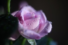 Pink Rose      Kodak Anastigmat  f : 1.9   25 mm (情事針寸II) Tags: マクロ撮影 自然 花 薔薇 macro cmountlens bokeh pink nature fleur flower rose kodakanastigmatf1925mm