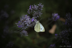 White Butterfly (leanne.hilless) Tags: whitebutterfly butterfly nature naturephotography wildlife insect lavender flowers spring garden