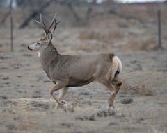 Mule Deer-13 (trdunn) Tags: muledeer colorado weldcounty wildlife animal easternplains nature buck antlers fall running
