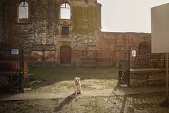 IMG_0590 (BernaPhotography) Tags: vintage abandoned ruined forgotten church serbia srem labradorretriever lab labrador dog pet yellow