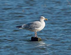 Riverside Herring gull posing