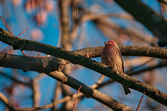 House Finche Basking in the Setting Autumn Sun (John Brighenti) Tags: housefinch finch bird feathers tweet animals wildlife outside nature tree branches autumn fall sky blue sunset evening sony alpha a7rii ilce7rm2 sel70300g zoom avian beak wings perch