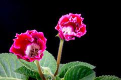 DSC_8410-1 (Sergio Nascimento BRAZIL) Tags: nikon d750 len pentax 645 120mm adapter dslr fundo preto nature flor texture