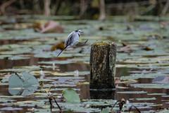 DSCF6362 (jojotaikoyaro) Tags: bird animal nature wildlife suginami tokyo japan fujifilm xh1 xf100400mm