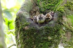 Shy but curious! (www.NeotropicPhotoTours.com) Tags: noisynightmonkey aotusvociferans yasuninationalpark essenceofecuador juancarlosvindas neotropicphototours mammals family groups nonprehensiletail