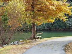 Bench Beneath a Tree, Morse Park, Lake Lure, North Carolina (netbros) Tags: lakelure northcarolina hickorynutgorge morsepark redwoodtree parkbench netbros internetbrothers