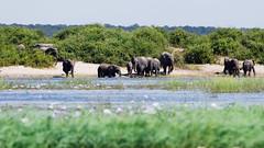 Elephants on the Chobe River (C McCann) Tags: botswana africa caprivi strip elephants elephant herd animal animals endangered water river drinking family