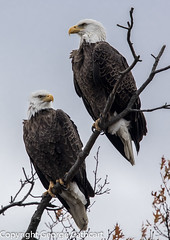 what a pair! (fins'n'feathers) Tags: eagle eagles birdsofprey baldeagles eastcoast delaware bombayhooknwr midatlantic bird birds delawarebay perched