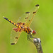 Calico pennant, immature male