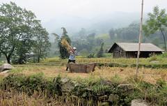 A Hard Days Work (Mary Faith.) Tags: sapa rice field harvest crop landscape food building mist people labour work occupation