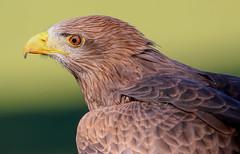 Yellow Billed Kite (dianne_stankiewicz) Tags: nature wildlife raptor kite yellowbilledkite bird feathers portrait