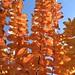 Crepe Myrtle Autumn