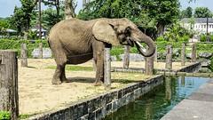 Elephant HFF- 6303 (ΨᗩSᗰIᘉᗴ HᗴᘉS +37 000 000 thx) Tags: fence fences happyfencefriday elephant animal pairidaiza water hens yasmine namur belgium europa aaa namuroise photo friends be yasminehens interest eu fr lanamuroise