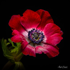 Red anemone (Magda Banach) Tags: canon canon80d sigma150mmf28apomacrodghsm anemone blackbackground colors flora flower macro nature plants