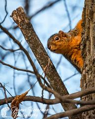 Eastern (Bryants) Fox Squirrel (Thomas Henneman) Tags: illinois sciurusniger batavia blue closeup fauna foxsquirrel kanecounty orange squirrel winter usa