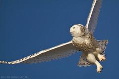 Graceful Takeoff (Doug Scobel) Tags: snowy owl bubo scandiacus saginaw bay fish point michigan wild bird wildlife