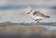 Sanderling (cliveyjones) Tags: sanderling burnhamoverystaithe shorebird