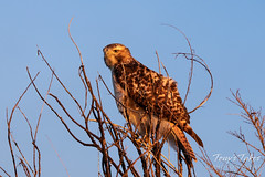 November 4, 2018 - A young Red-tailed Hawk at dawn. (Tony's Takes)