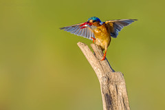 Beauty of The Nature (asifsherazi) Tags: malachitekingfisher lakebaringo kenya asifsherazi wildlife bird prey action