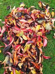 Lovely colours (daveandlyn1) Tags: leaves autumncolours autumn🍂shades grass smartphone psdigitalcamera cameraphone pralx1 p8lite2017 huawei redsgreensyellowsandbrowns