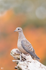 ''La triste!'' Tourterelle triste-Mourning dove (pascaleforest) Tags: oiseau bird animal passion nikon nature automne wild wildlife faune québec canada