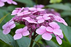 Hydrangea (Seventh Heaven Photography **) Tags: hydrangea pink flowers bloom flora nikon d3200