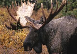 Newfoundland Caribou and Moose Hunting 8