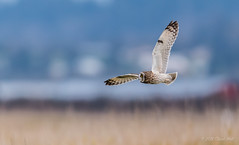 Short-eared Owl (chuck.mell) Tags: northernharrier seow winter2019