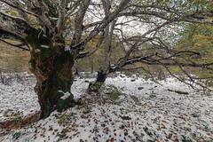 en Monte Santiago - 2018 (mabarror) Tags: montesantiago bosques hayas paisvasco mabarror bosque hayedo