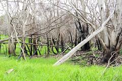 Burnt Acacia koa and grass regeneration after Mauna Loa Rd fire (J. B. Friday) Tags: hawaiivolcanoesnationalpark maunaloa fire wildfire acaciakoa acacia fabaceae pennisetum pennisetumclandestinum ehrharta ehrhartastipoides