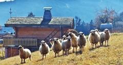 ~~ Elles sont bien belles ces Savoyardes ! ~~ (Joélisa) Tags: novembre2018 montagne hautesavoie 74 brebis chalet troupeau