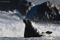 Seal in the spray (Jen Buckle) Tags: seal sea nikon nikond7500 jenbuckle rocks mammal wildlife nature