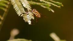 Hoverfly (Rodger1943) Tags: hoverfly australianinsects fz1000 faunainmotion 4kvideo
