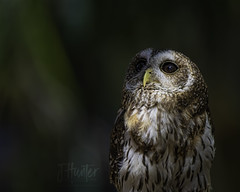 Barred Owl (J.Hunter Photography) Tags: