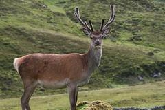 Summer time stag (roger_forster) Tags: reddeer cervuselaphus inchnadaph assynt sutherland scotland wild mammal stag velvet