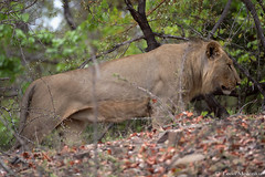 African Lion (leendert3) Tags: leonmolenaar southafrica krugernationalpark wildlife nature mammals africanlion ngc npc naturethroughthelens