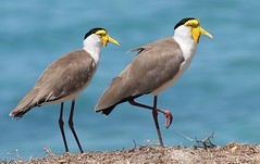 Masked Lapwing 141018 (2) (F) (Richard Collier - Wildlife and Travel Photography) Tags: wildlife naturalhistory birds australia australianbirds maskedlapwing two apair waders lorikeets naturethroughthelens coth coth5 ngc