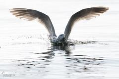Like an angel (Picturavis) Tags: fehmarn katharinenhof silbermöwe vogel bird tier animal larusargentatus europeanherringgull germany deutschland backlight gegenlicht