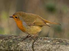 Rainham 04.12.18 perched Robin