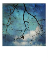 Sycamore in a winter sky. (jeanne.marie.) Tags: funwithfilters branches textured myfavoritecolors mydailywalk iphone7plus iphoneography polaroid silhouettes flight flying birds clouds aqua turquoise skyblueindigo winter tree sycamore