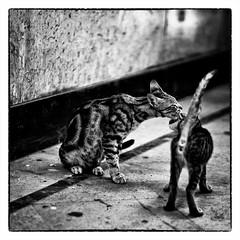 tout l'amour d'une mère (Marie Hacene) Tags: lecaire egypte chats noir et blanc cats chatte chaton