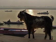varanasi 2017 (gerben more) Tags: varanasi benares ganges ganga river sunset goat boat boats india animal
