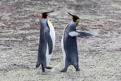 King Penguin (Linda Martin Photography) Tags: kingpenguin saundersisland spheniscidae southatlanticocean falklandislands aptenodytespatagonicus