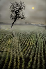 una giornata particolare (celestino2011) Tags: albero nebbia campagna natureinfocusgroup