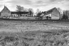 Pastoral winter scene (enneafive) Tags: sheep meadow cold winter farm monochrome grass nature bucolic pastoral fujifilm xt2 affinityphoto colen marienlof monastery borgloon limburg belgium