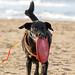 Schwarzer Hund apportiert Frisbee aus Gummi an Sandstrand, im Hintergrund Meer
