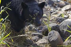 Black Bear (Jolita Kievišienė) Tags: black bear wild lake tahoe mountains sierra nevada america california wildlife animal north